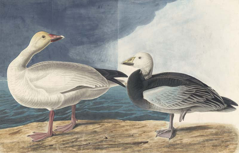 Snow Goose, Havell pl. 381