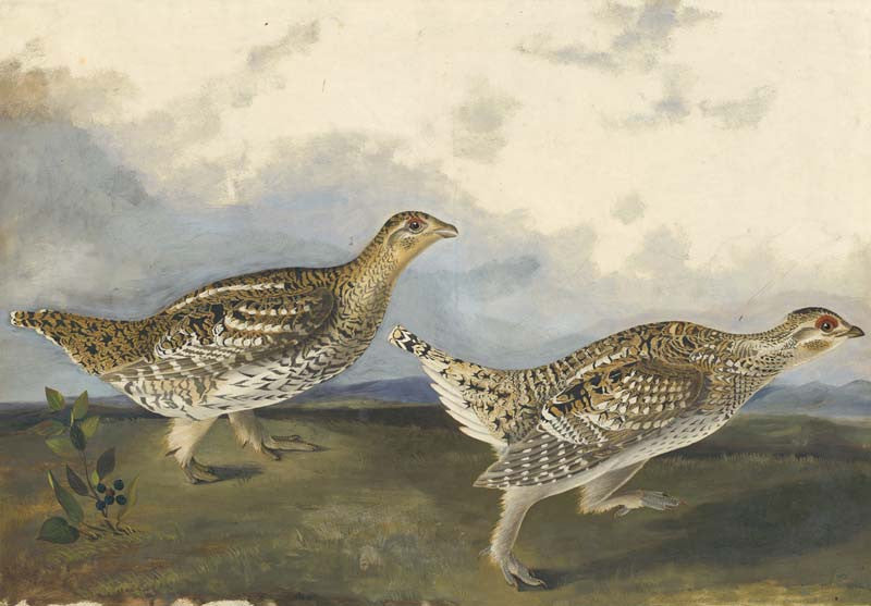 Sharp-tailed Grouse, Havell pl. 382