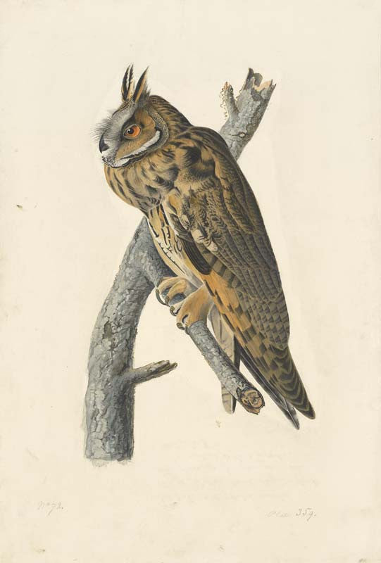 Long-eared Owl, Havell pl. 383
