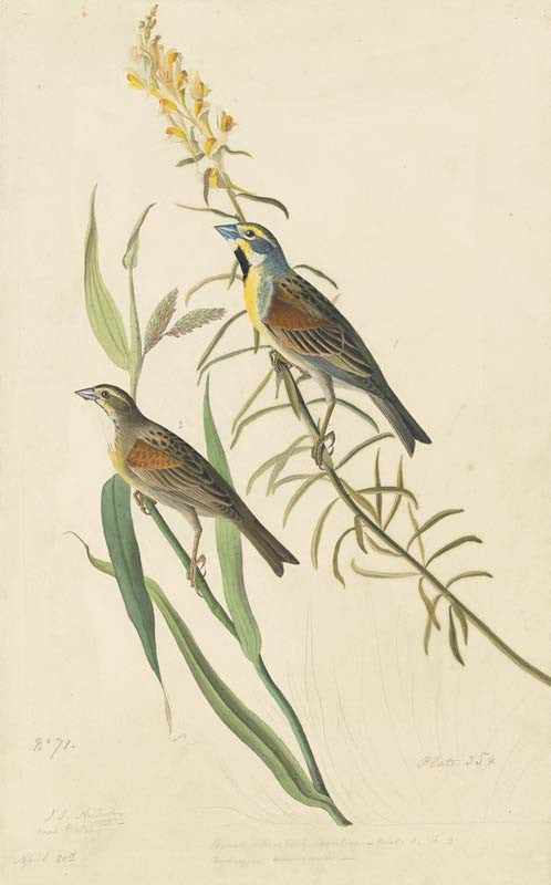 Dickcissel, Havell pl. 384