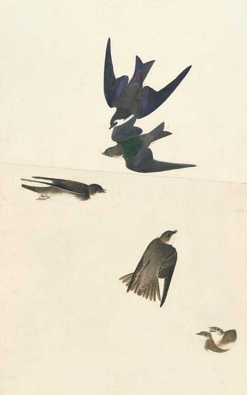 Violet-green Swallow and Bank Swallow, Havell pl. 385
