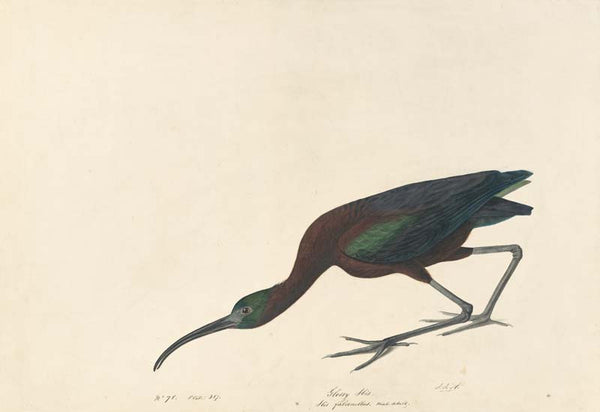 Glossy Ibis, Havell pl. 387