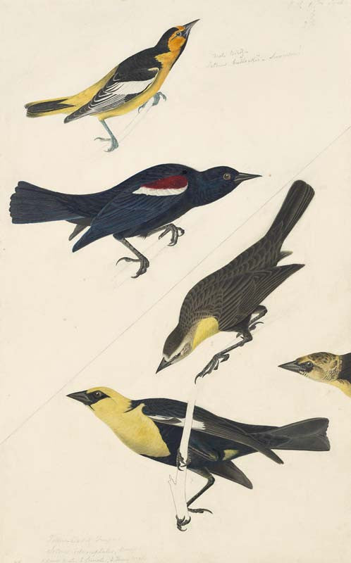 Bullock's Oriole, Tricolored Blackbird and Yellow-headed Blackbird, Havell pl. 388