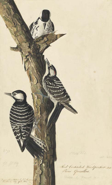 Red-cockaded Woodpecker, Havell pl. 389