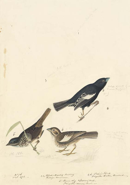 Lark Bunting and Song Sparrow, Havell pl. 390