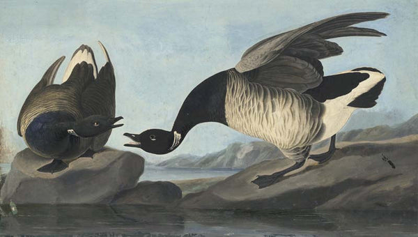 Brant, Havell pl. 391