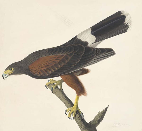 Harris's Hawk, Havell pl. 392