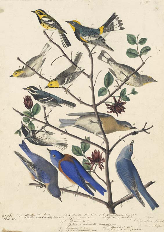 Townsend's Warbler, Audubon's Warbler, Mountain Bluebird, Western Bluebird, Black-throated Gray Warbler, and Hermit Warbler, Havell pl. 393 and 395