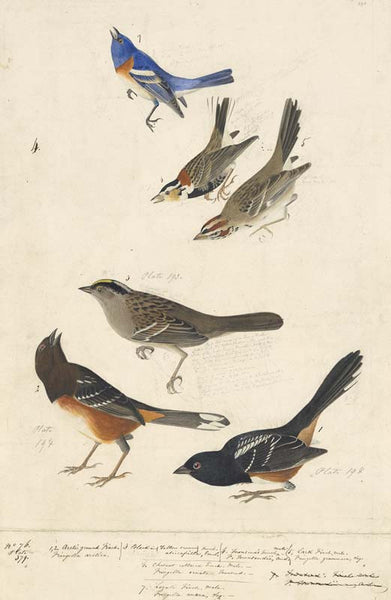 Lazuli Bunting, Chestnut-collared Longspur, Lark Sparrow, Golden-crowned Sparrow, and Eastern Towhee, Havell pl. 390, 394, and 398