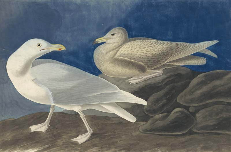 Glaucous Gull, Havell pl. 396