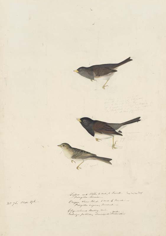 Dark-eyed Junco and Clay-colored Sparrow, Havell pl. 398