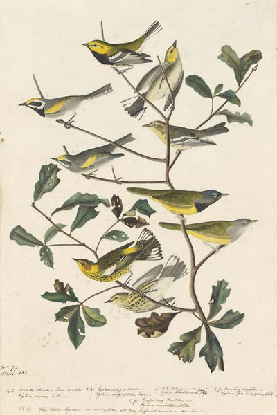 Black-throated Green Warbler, Blackburnian Warbler, MacGillivray's Warbler, Cape May Warbler and Golden-winged Warbler, Havell pl. 399 and 414