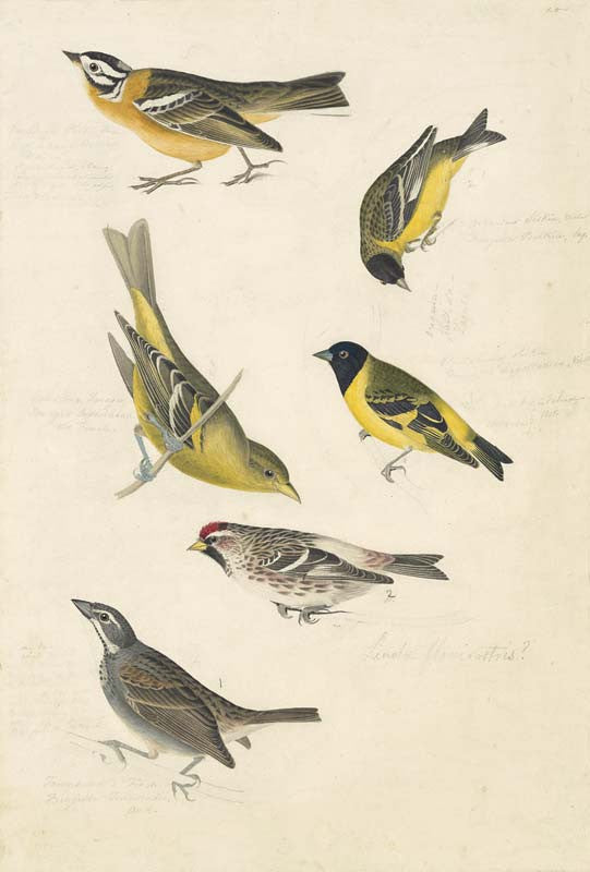 Smith's Longspur, Lesser Goldfinch, Black-headed Siskin, Western Tanager, Hoary Redpoll, Townsend's Bunting?, Havell pl. 394 and 400