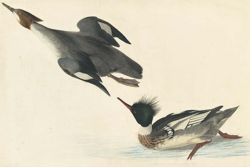 Red-breasted Merganser, Havell pl. 401