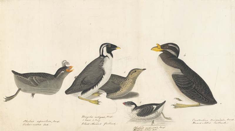 Crested Auklet, Ancient Murrelet, Least Auklet, and Rhinoceros Auklet, Havell pl. 402