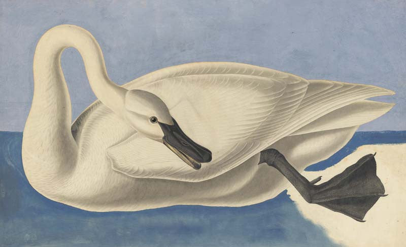 Trumpeter Swan, Havell pl. 406