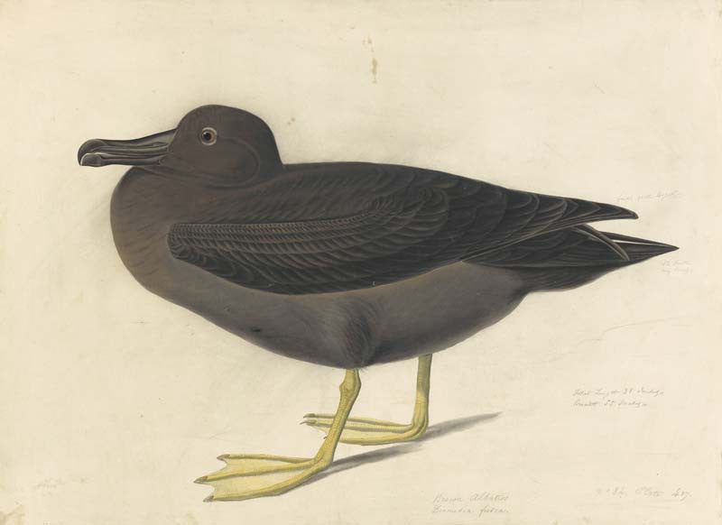 Light-mantled Albatross, Havell pl. 407