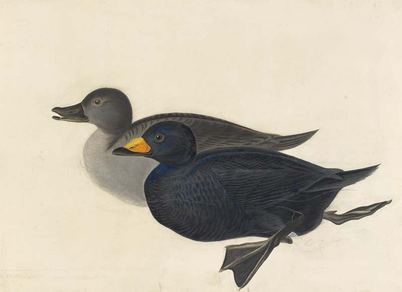Black Scoter, Havell pl. 408