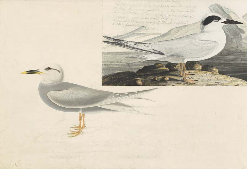 Forster's Tern and Snowy-crowned Tern, Havell pl. 409