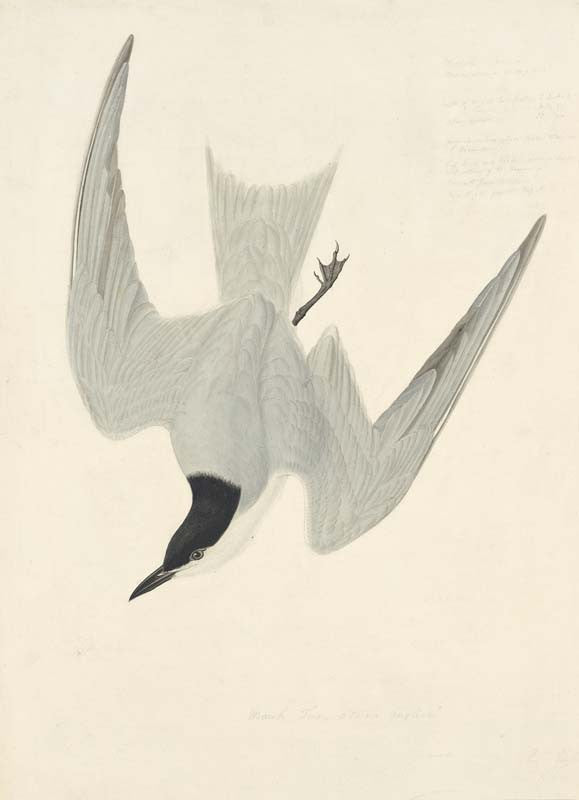 Gun-billed Tern, Havell pl. 410