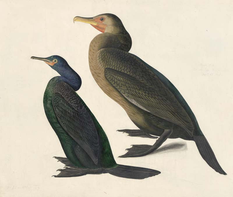 Pelagic Cormorant and Brandt's Cormorant, Havell pl. 412