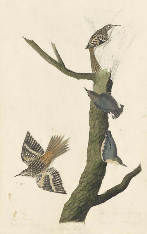 Brown Creeper and Pygmy Nuthatch, Havell pl. 415