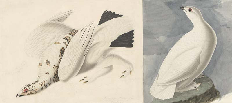 Rock Ptarmigan and White-tailed Ptarmigan, Havell pl. 418