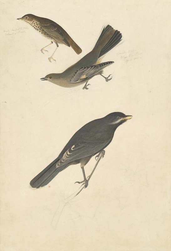 Hermit Thursh, Townsend's Solitaire and Gray Jay, Havell pl. 419