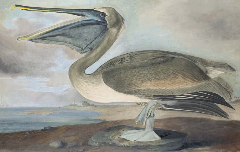 Brown Pelican, Havell pl. 421