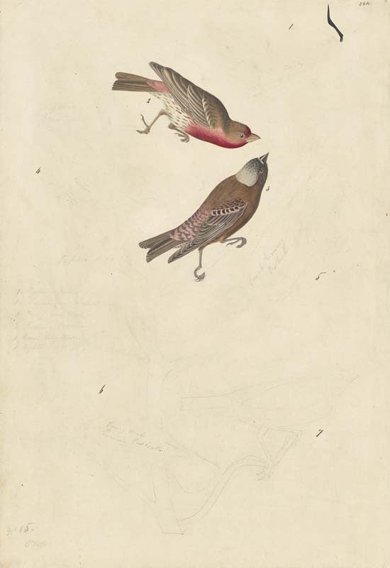 House Finch, Gray-crowned Rosy-Finch, Lazuli Bunting, Brown-headed Cowbird, Evening Grosbeak, and Fox Sparrow, Havell pl. 424