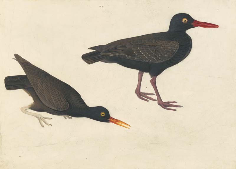 Black Oystercatcher, Havell pl. 427