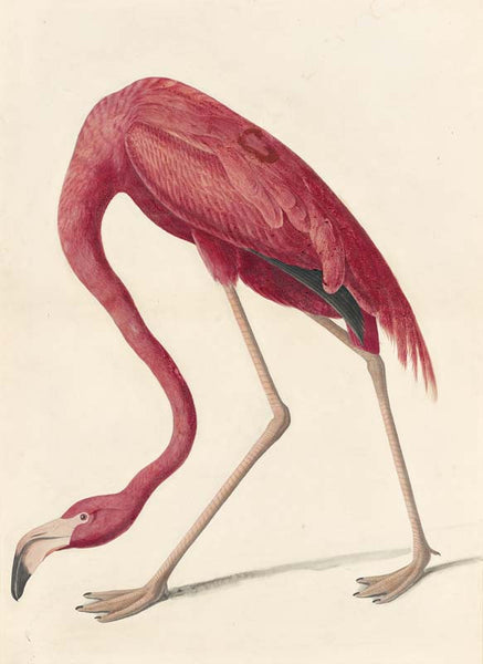 American Flamingo, Havell pl. 431
