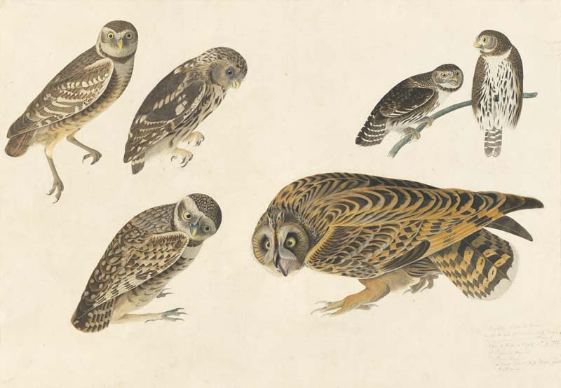 Burrowing Owl, Little Owl, Northern Pygmy-Owl, Short-eared Owl, Havell pl. 432