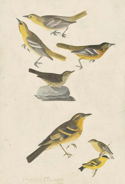 Bullock's Oriole, Baltimore Oriole, Northern Waterthrush, Lesser Goldfinch, and Varied Thrush, Havell pl. 433