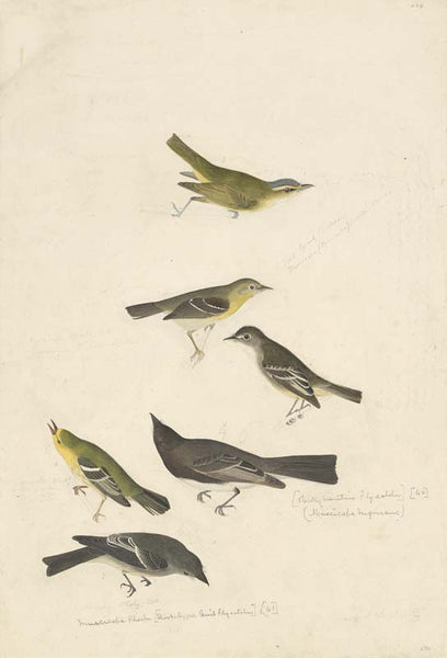 Red-eyed Vireo, Least Flycatcher, Small-headed Flycatcher, Black Phoebe, Blue Mountain Warbler, and Western Wood-Pewee, Havell pl. 434