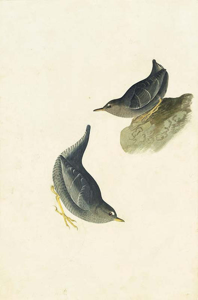 American Dipper, Havell pl. 435