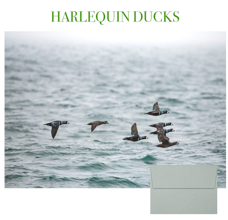 2019 Holiday Cards: Harlequin Ducks