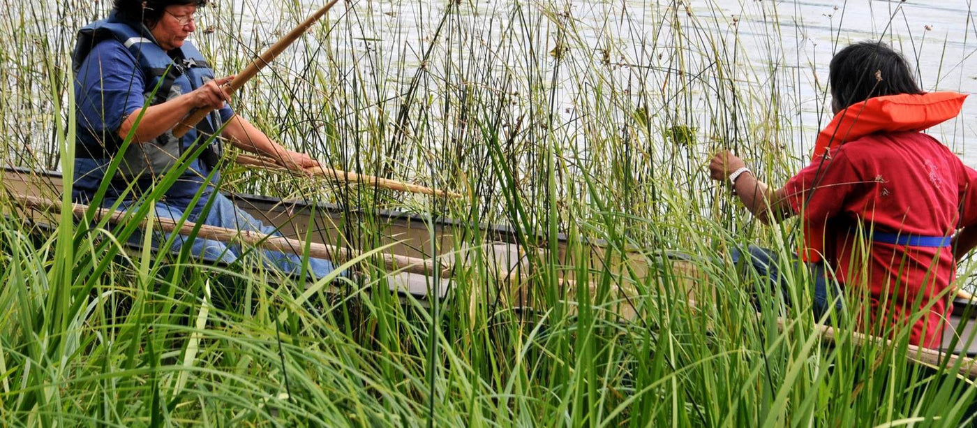 Harvesting the manoomin (Wild Rice)