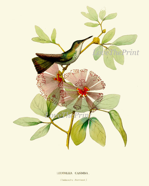 Hummingbird Print SET of 4 Art  Beautiful Antique Humminbirds Birds Tropical Pink Flowers Botanical Garden Illustration Decor to Frame