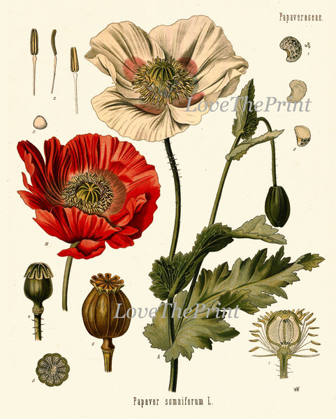 Botanical Print Set of 4 Art  Beautiful Antique Red Rose Large Black Hollyhock Dandelion Flowers Bedroom Dining Living Room Wall Decor