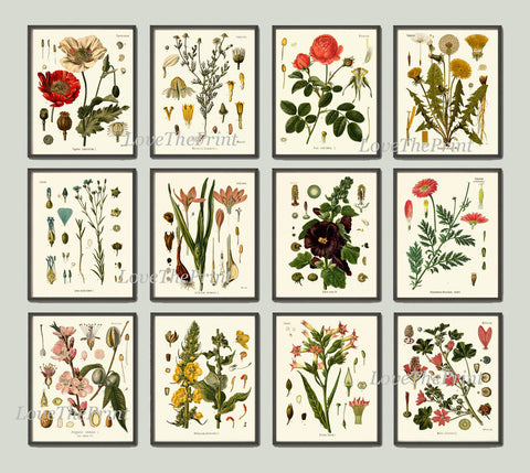 Botanical Print Set of 12 Art  Beautiful Antique Red Rose Hollyhock Poppy Cammomile Dandelion Almond Pretty Flowers Home Room Wall Decor