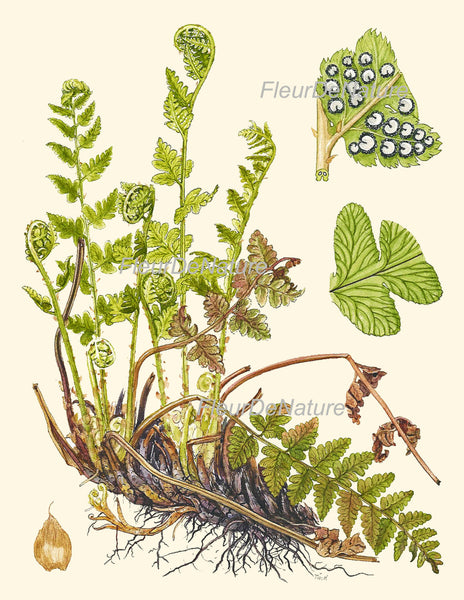 Antique Fern Lindman  Botanical Art Print 4 Antique Beautiful Green Ferns Forest Nature Chart Bedroom Dining Room to Frame Wall Decor