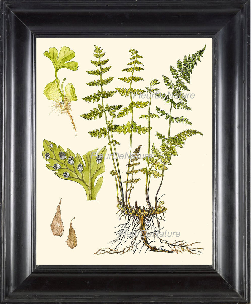 Antique Fern Art Print 6Lindman  Botanical Antique Beautiful Green Ferns Forest Nature Natural Science Living Room Wall Decorto Frame