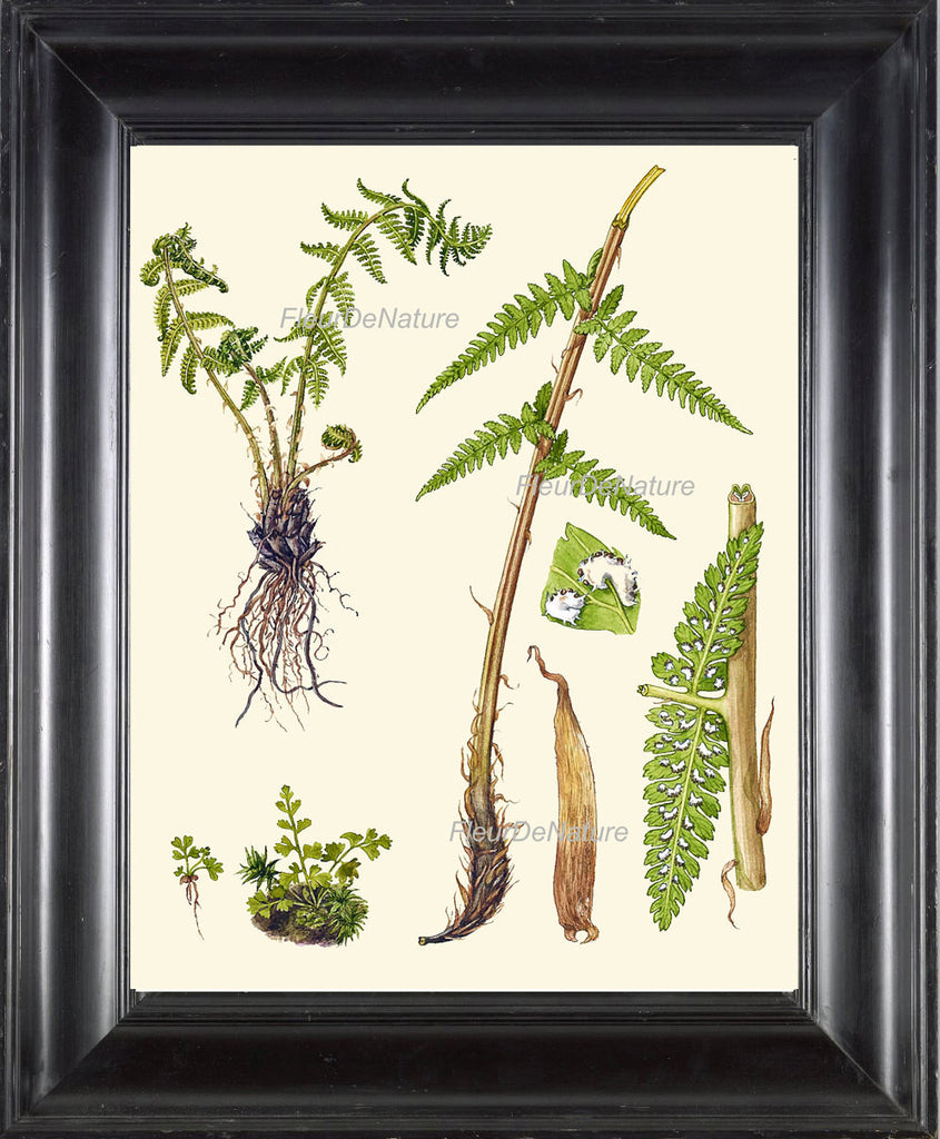 Antique Fern Art Print 8 Lindman  Botanical Antique Beautiful Green Ferns Forest Nature Natural Science to Frame Room Wall Hanging Decor