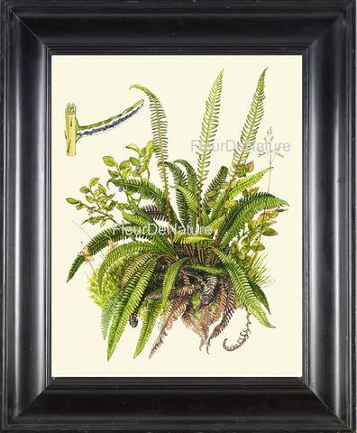 Antique Fern Art Print 19 Lindman  Botanical Antique Beautiful Green Ferns Forest Nature Kitchen Dinin Room Home Wall Decor to Frame