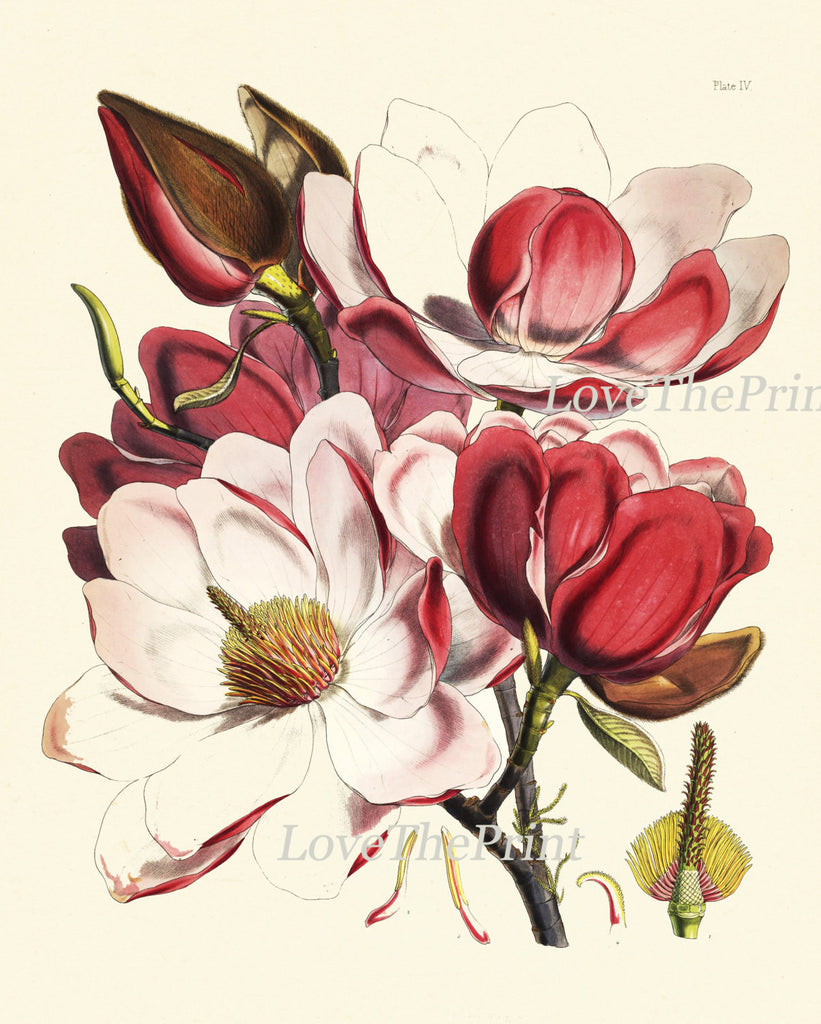 Magnolia Botanical Print Set Of 3 Art Antique Beautiful Flowers Pink
