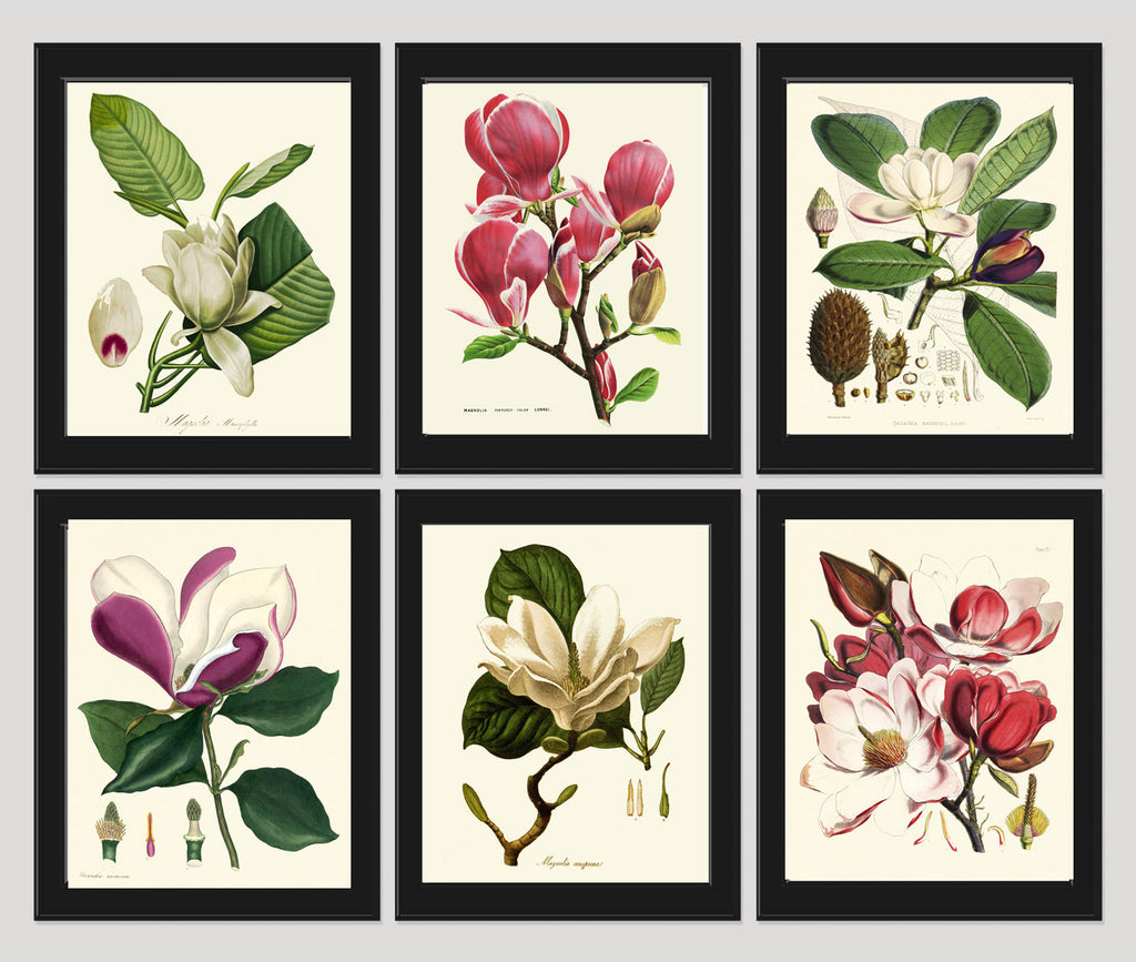 Magnolia Botanical Print Set of 6 Art  Antique Beautiful Flowers Pink White Large Blooming Chart Plant Home Room Wall Decor to Frame