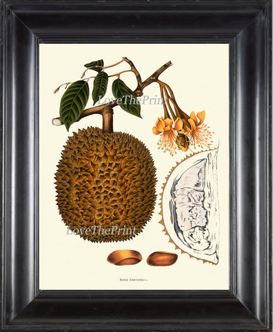 Durian Tropical Fruit Art Print 37 Botanical Beautiful Large  Edible Tree Plant Island Coooking Kitchen Dining Room Home Wall Decor BHN