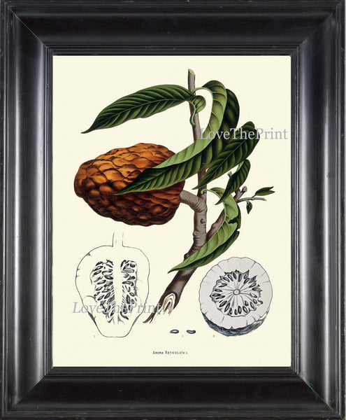 Custard Apple Fruit Print 39 Botanical Art Tropical Beautiful Large  Tree Edible Plant Chart Kitchen Dining Room Home Wall Decor BHN
