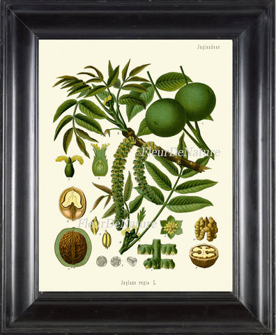 Walnut Botanical Print Kohler Herb 8x10 Art 2 Beautiful Antique Vintage Art Tree Plant Cooking Painting Plate Green Flower Seeds Wall Decor